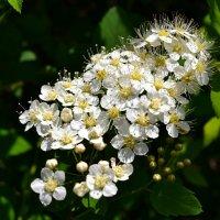 Весеннее цветение :: Милешкин Владимир Алексеевич