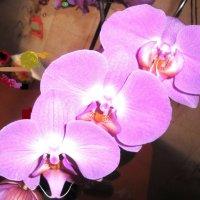 Орхидея :: Лебедев Виктор