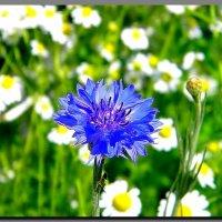 цветы  полевые. :: Ivana