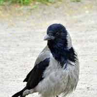 Старая ворона  / 1 / :: Сергей