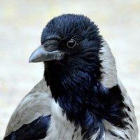 Старая ворона  / 3 / :: Сергей