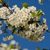 вишня в цвету :: linnud