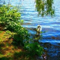 Лебедь на озере Альстер :: Nina Yudicheva