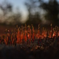 Кукушкин лён на закате :: Дракон Хаку