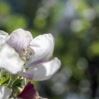 Цветок яблони :: Veyla Vulpes