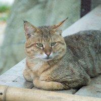 Камышовый кот :: Елена Нор