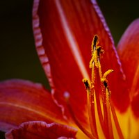 Вечерний цветок :: Мария Ставцева