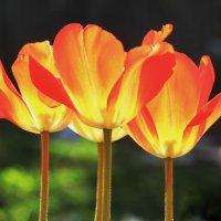 Тюльпаны :: Galina Kazakova