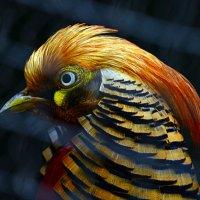 Золотой фазан2 :: Alexei Kopeliovich