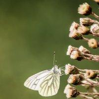 Бабочка :: Дмитрий Малышев