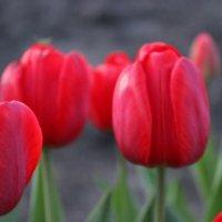 Тюльпаны :: Lera