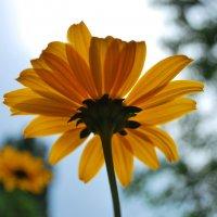 Солнечный цветочек :: Elena Balatskaya