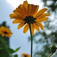 Желтый цветочек :: Elena Balatskaya