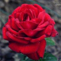 Роза :: Вероника Томилова