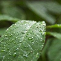 капли дождя :: Серафим Ибрагимов