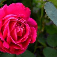 Роза :: Евгения Мартынова