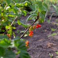 Во саду ли, в огороде... :: Евгения Мартынова