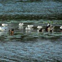 чайки и утки :: Сергей Кочнев