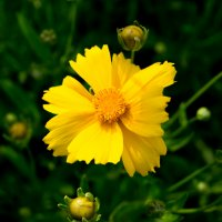 Желтенький цветочек :: Лама Lama