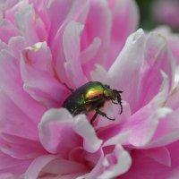Июньский жук :: Никита Трофимов