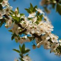 цветение :: klevyanyk Клевъяник