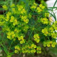 Растение :: Лама Lama