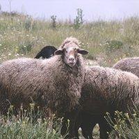 Овца :: Лекса Слеповрон