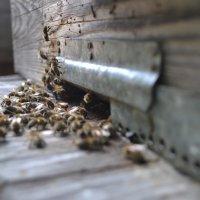 Пчёлки) :: Никита Трофимов