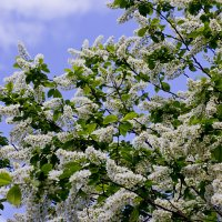 Черемуха в цвету :: Leonid Krasnov