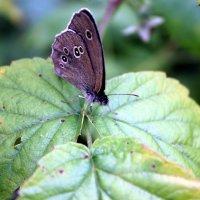 Бабочка :: Ольга Володько