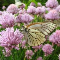 Бабочка :: Вероника Зайцева