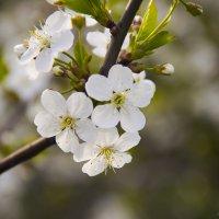 цветение :: Aleksey Donskov