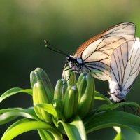 Бабочки и лето :: Галина К.