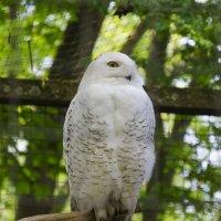 белая  сова :: alexander.komsin@freenet.de Komsin