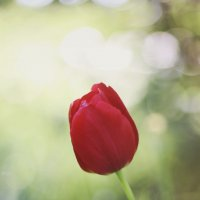 Тюльпан :: Полина Хаустова
