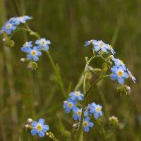 Голубые цветочки :: Андрей Черемисов
