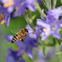 Пчёлы очень  любят  Синюху. :: Наталья Соколова
