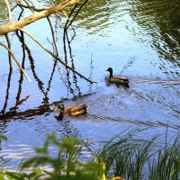 Утки на пруду :: Ольга Соболева