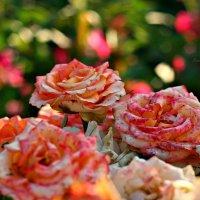 Садовые розы :: Diana Alekseevna