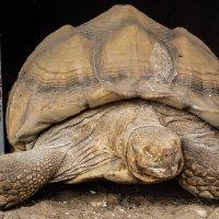 """""""Ты кто? -Я большая черепаха"""" :: susanna vasershtein"""