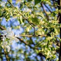 Цветущее дерево :: Андрей Власик