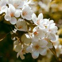 Яблони в цвету :: Марина Щуцких