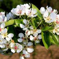 Весны цветенье.. :: Александр Яковлев