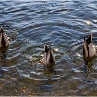 три весёлые утки :: олег кирюшкин