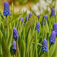 Весенние цветы... :: марк
