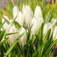 Весенние цветы :: марк