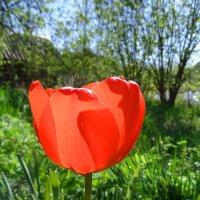 И снова тюльпаны :: El Кондукова