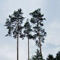 Три сосны :: Ростислав