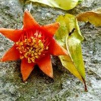 Опавший цветок граната :: Ирина