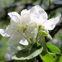 Лучше нету того цвету, когда яблоня цветет. :: Валентина ツ ღ✿ღ